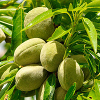 Almond Featured Ingredient - L'Occitane