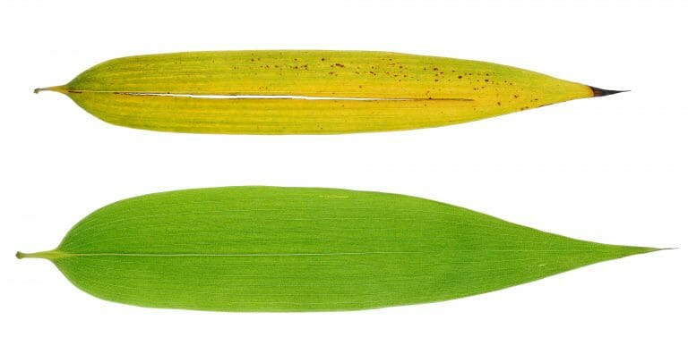 Pictures of two leaves in different stage of the life style