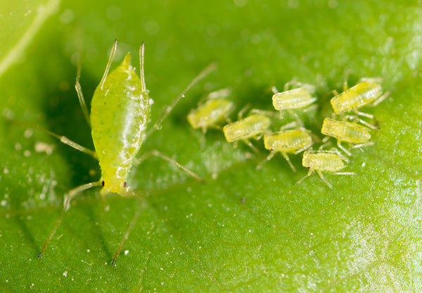 Lime green pear-shaped bugs with walking on a fresh green leaf.