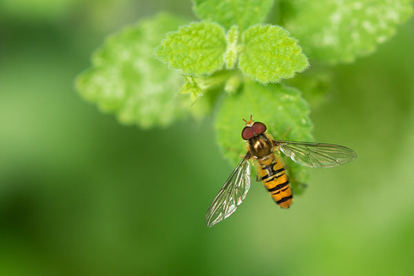 Yellow and black striped Hoverfly resting on plant foliage.