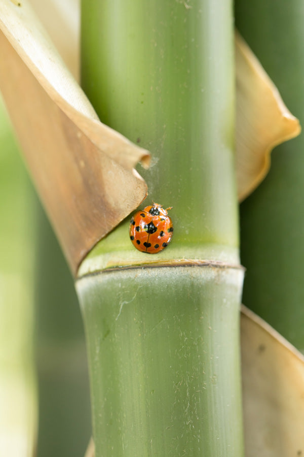 Small red ladybug on a live bamboo plant.