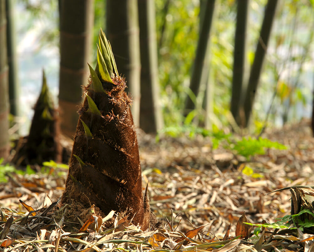 New growth of Moso Bamboo Shoot in Spring