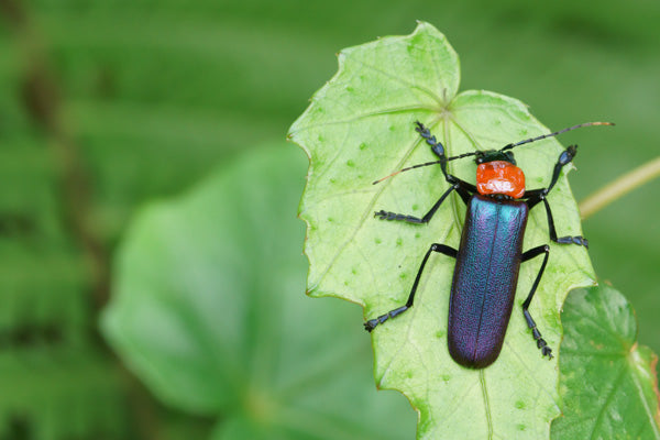 Black and red soldier beetle standing on a jagged plant leaf.