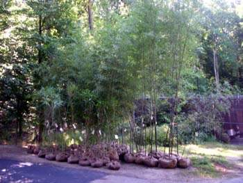 Wide variety of bamboo