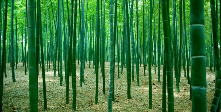 bamboo forest with mulch