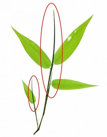 closeup of bamboo leaves twig showing the new leave formation