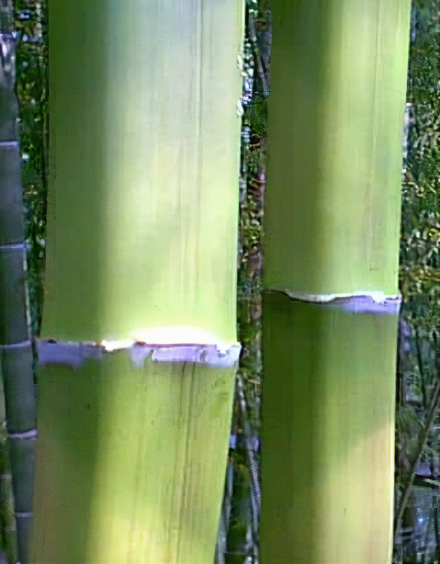 Square bamboo after culm sheath had been pealed away