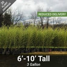 Load image into Gallery viewer, 6'-10' Feet Tall Bamboo (3 Gallon)