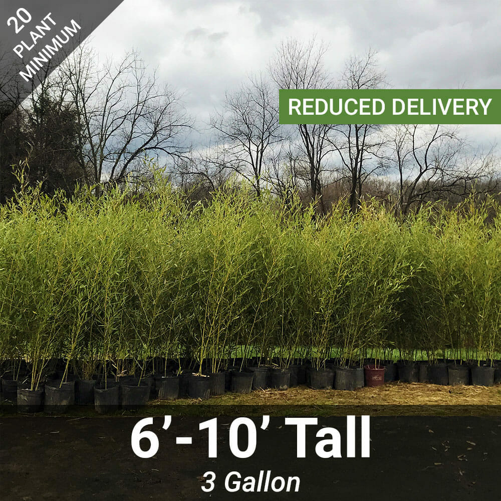6'-10' Feet Tall Bamboo (3 Gallon)