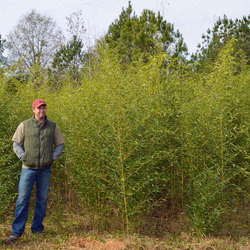Grove picture of Phyllostachys Decora from our farm