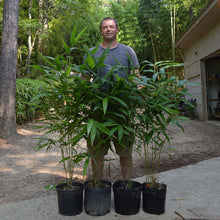 Load image into Gallery viewer, Three gallon Moso plants ready for sale