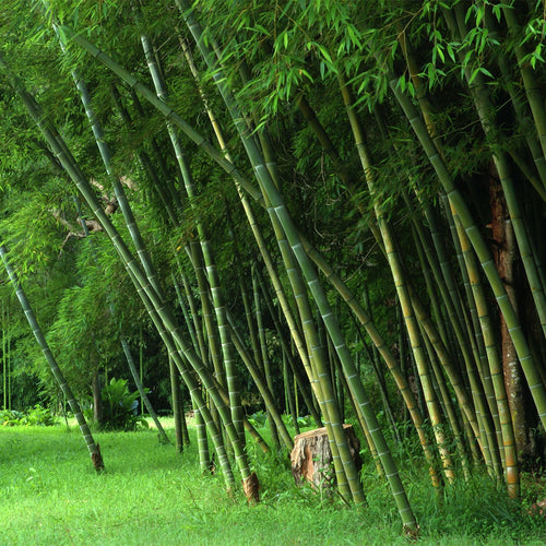 Parvifolia Screening Bamboo Grove
