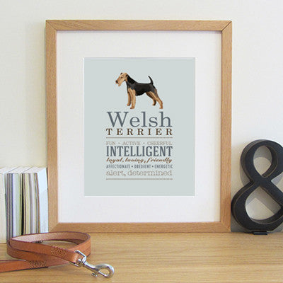 Welsh Terrier Dog Breed Print with an illustration and typical characteristics of the breed.