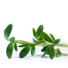 Load image into Gallery viewer, Wonderful Wasabi Cress - For Microgreens