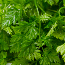 Load image into Gallery viewer, Charming Chervil- For Microgreens