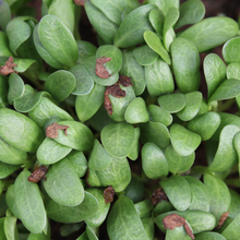 Load image into Gallery viewer, Funky, Fresh Fenugreek - For Sprouting and Microgreens