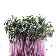 Load image into Gallery viewer, Radiant Red Cabbage - For Sprouting and Microgreens