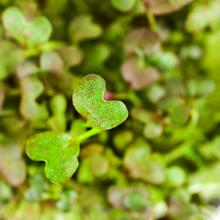 Load image into Gallery viewer, Mouth-Watering Mizuna - For Microgreens