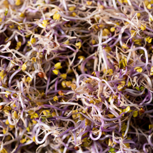 Load image into Gallery viewer, Courageous Kale - For Sprouting or Microgreens