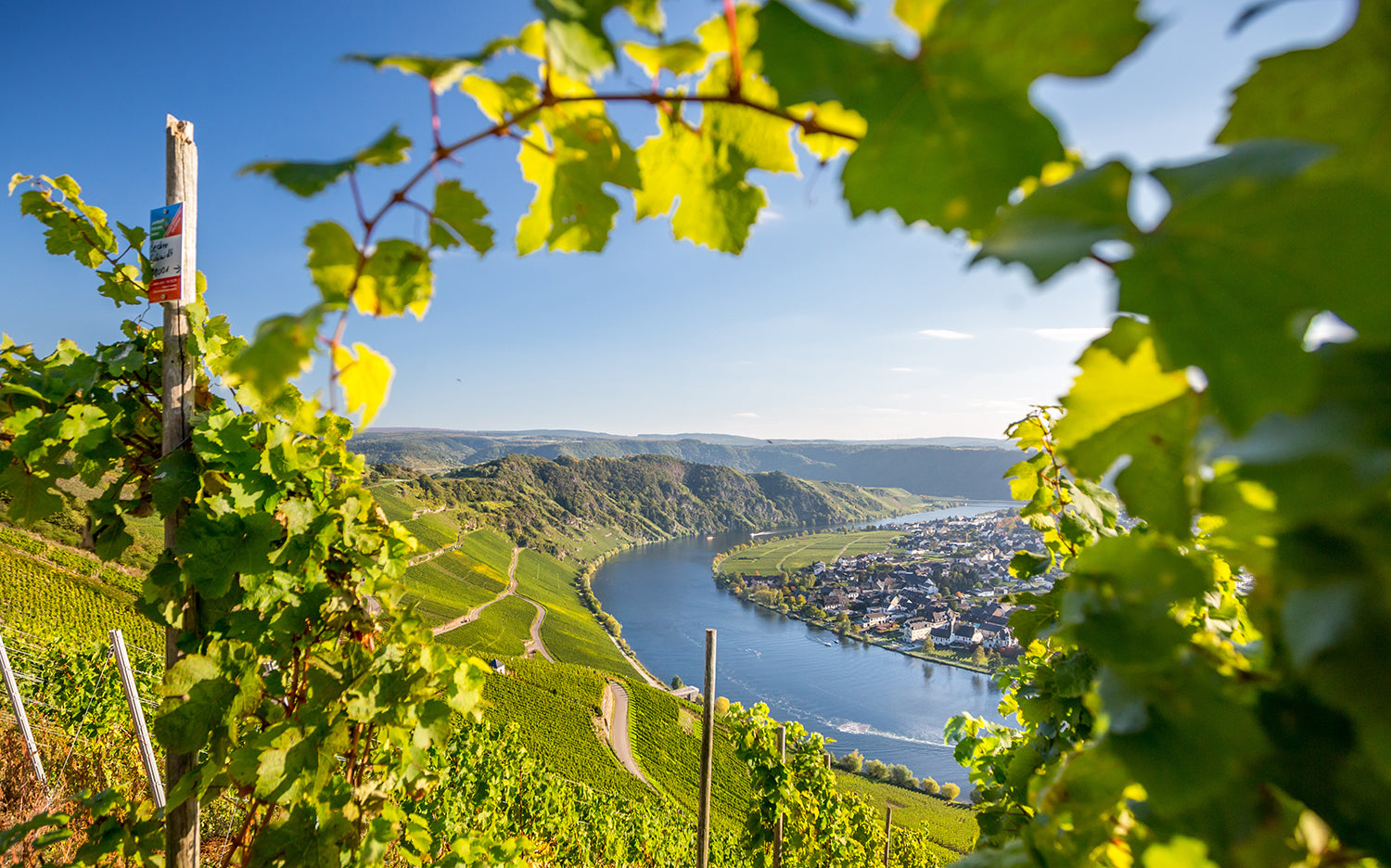 Vineyards in the Mosel, like Rheingau, are on steep south-facing slopes of the river, where they catch the maximum sunshine in this cool region.
