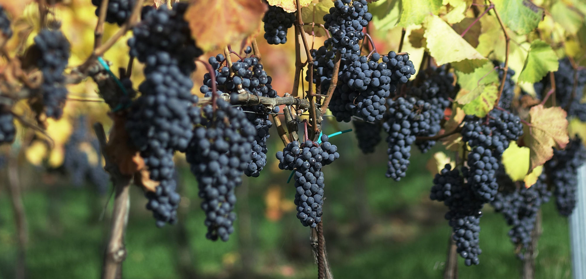Some of the most exciting wines at the moment are made with Blaufränkisch, known as Kékfrankos in Hungary