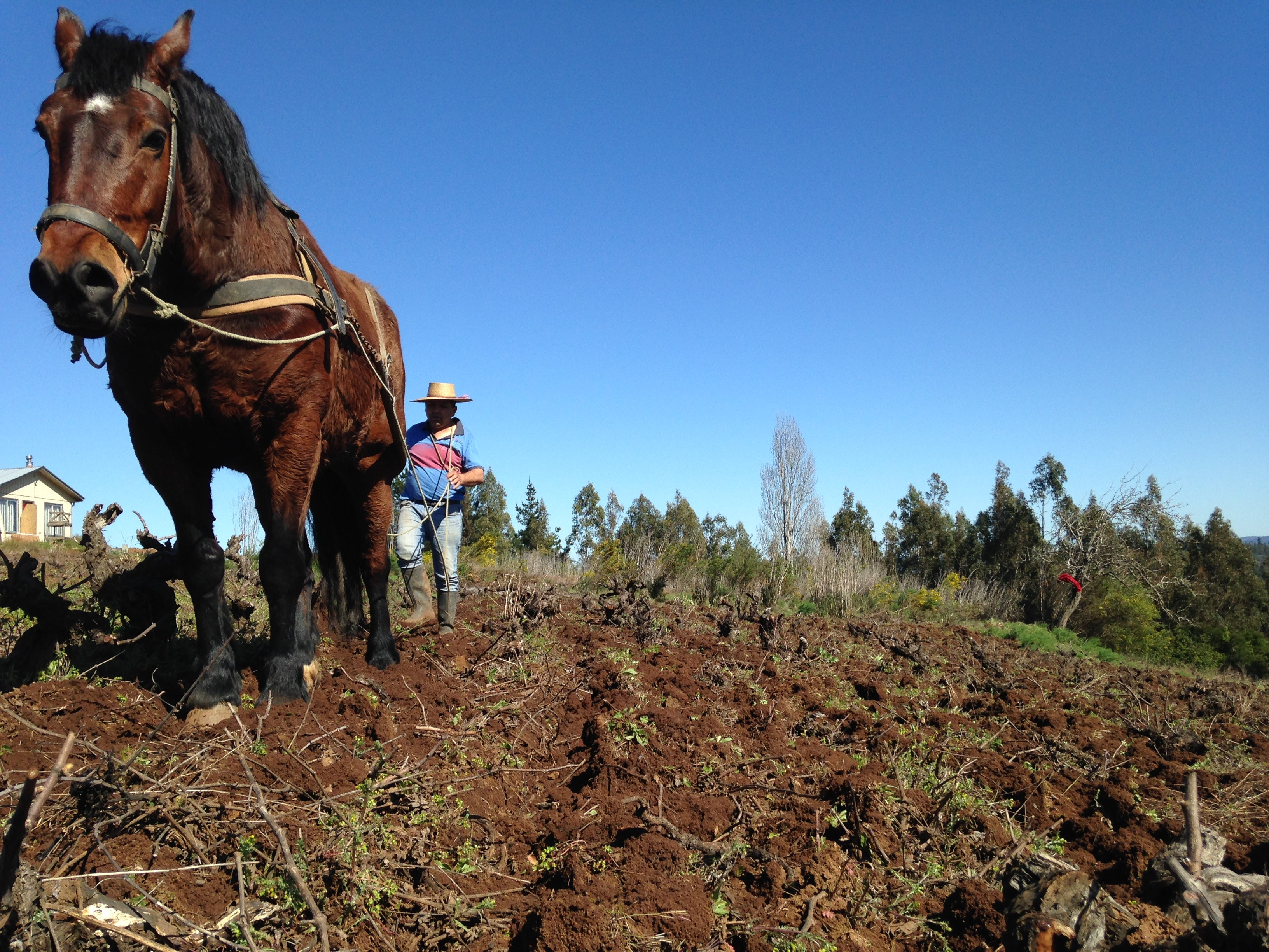 Traditional ploughing in Itata