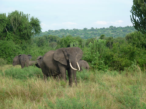 Pearls of Africa Uganda Safari Elephant