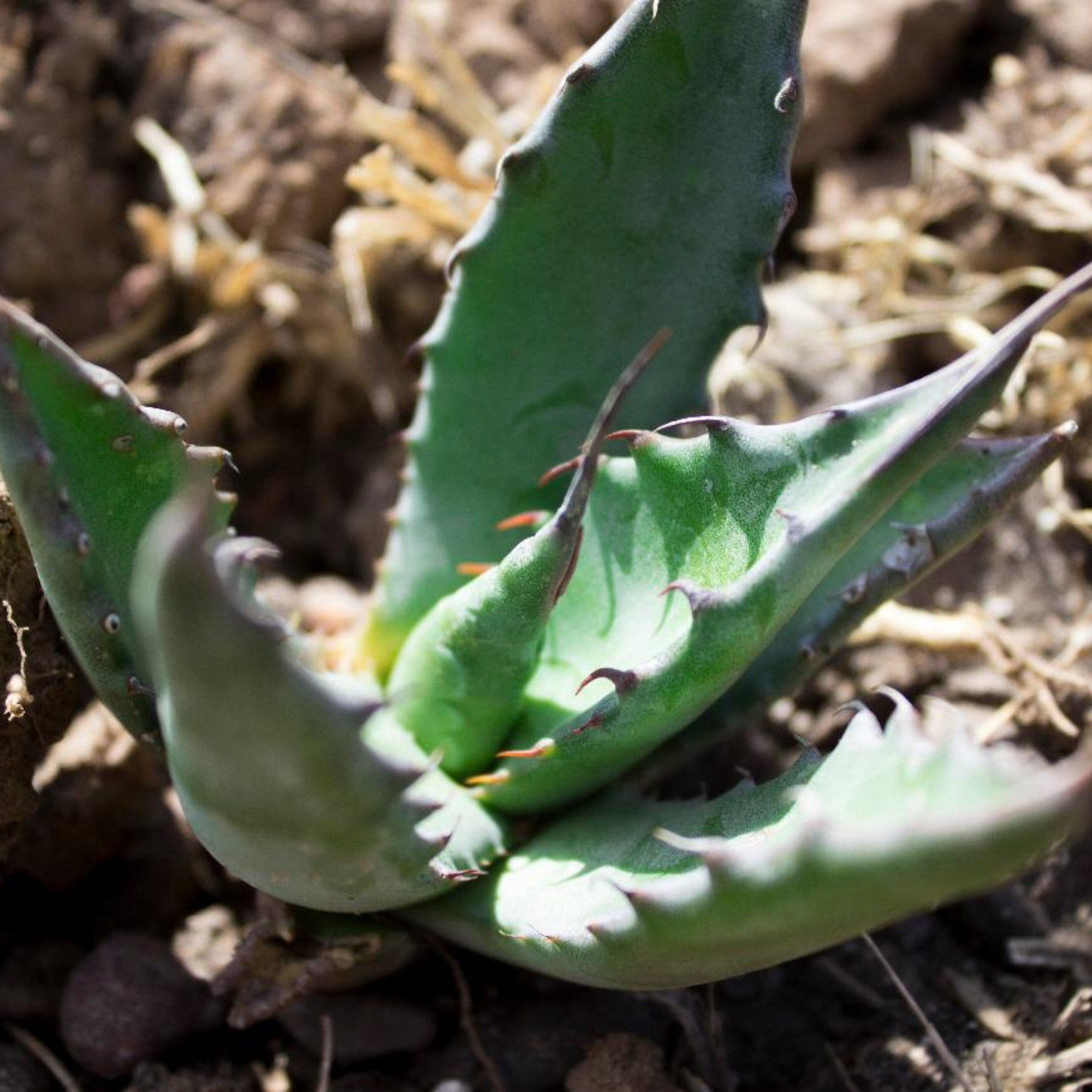 AGAVE SALMIANA PLANT (Package of 250 plants).