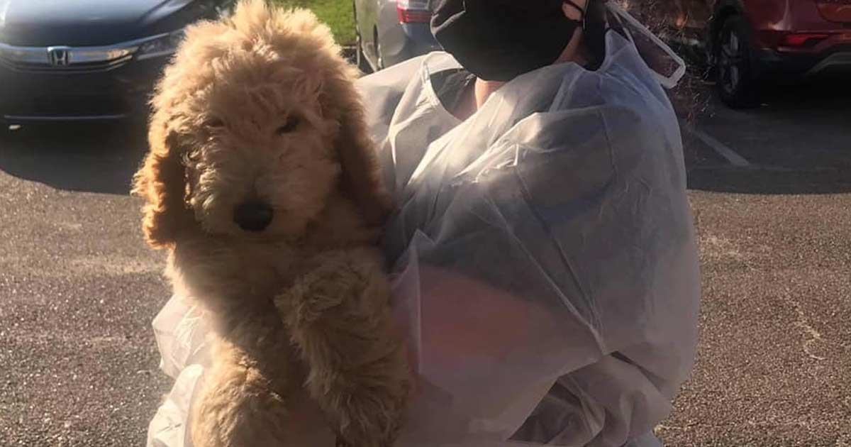 Goldendoodle Puppies: Backyard Breeders Surrendered Puppies with Parvo