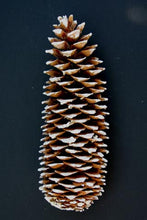 Load image into Gallery viewer, Sugar Pine Cones Natural or Colored in Gold Leaf , Silver Leaf , White tipped or Varnish up 14""