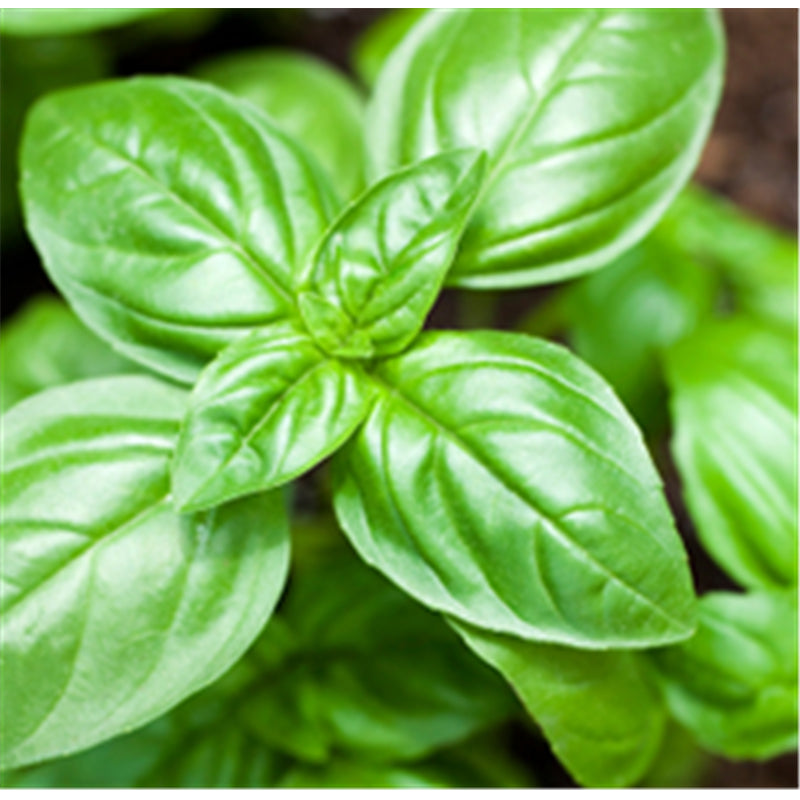 Basil Sweet Essential Oil