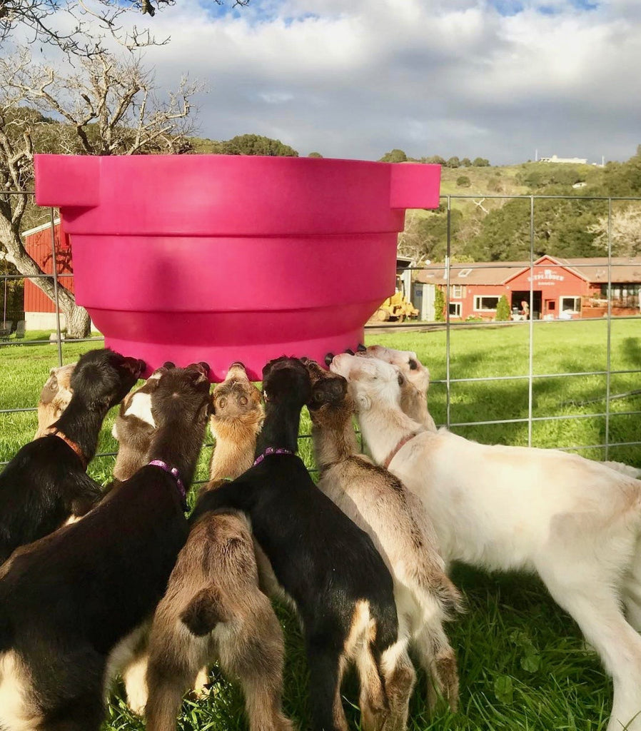 baby goats drinking out of milking container