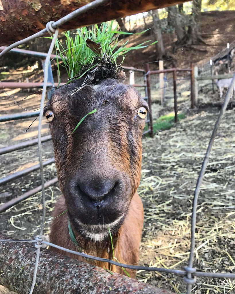 Almond with grass on her head