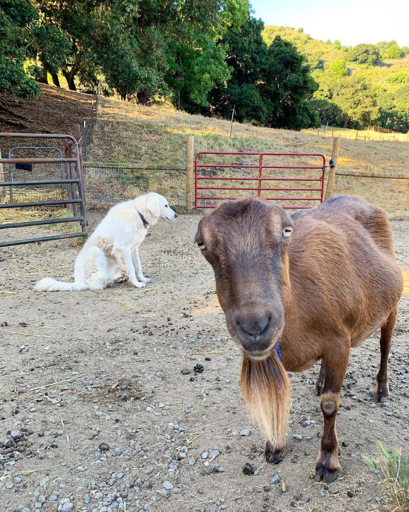 Almond the goat with Lily the herding dog