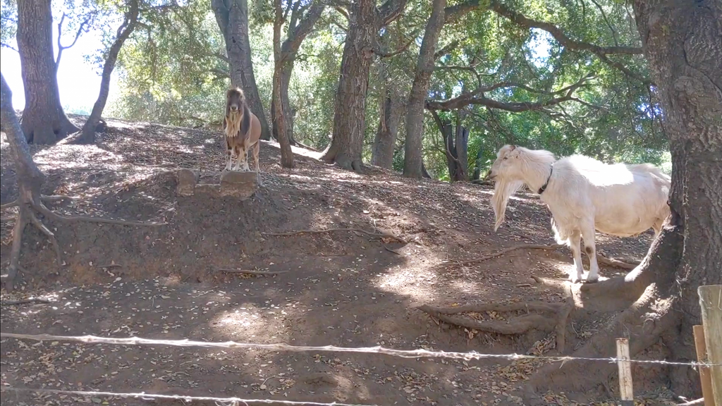 male goats in pasture
