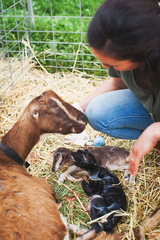 Midwife helping doe during birth