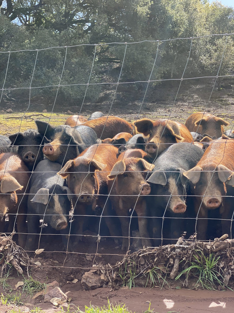 Ranch pigs