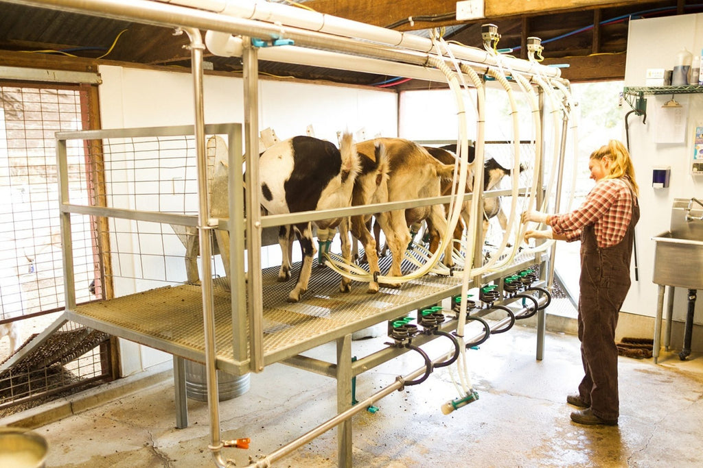 Milking parlor inside the creamery