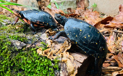 Spotted Turtles at Toad Ranch