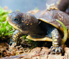 Baby Box Turtle at Toad Ranch