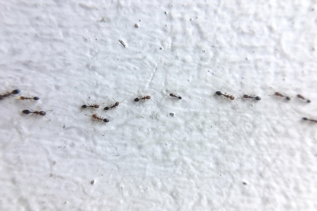 ant trail follow them to their nest