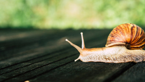 Our snail mucus is extracted from snails in a healthy natural environment