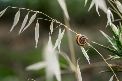 The snail secretion filtrate is treated and processed naturally