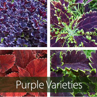 Purple-Burgundy Varieties