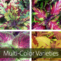 Multi-Colored Varieties