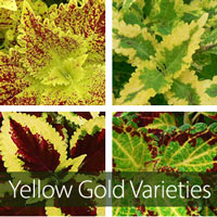 Yellow-Gold Varieties
