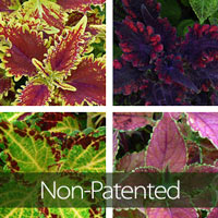 Non-Patented Coleus