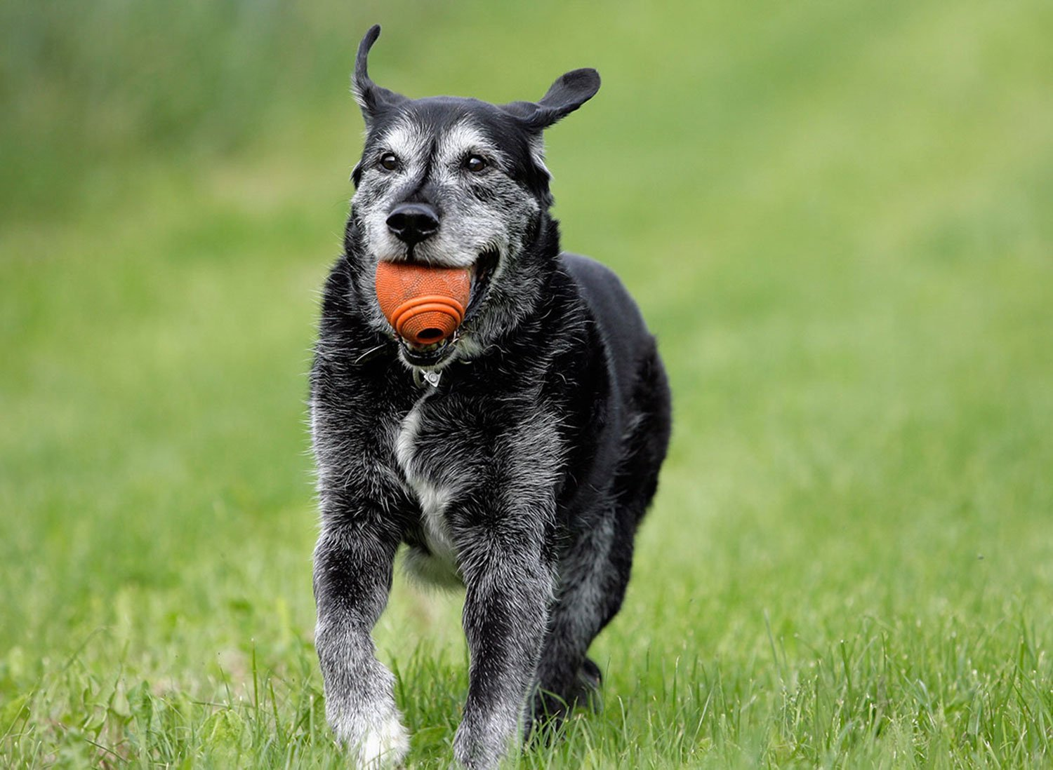 New Study Finds Hemp Oil Improves Arthritis Symptoms In Dogs | Pet Standards