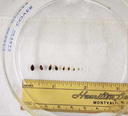 ACTUAL SIZE BED BUG PICTURES
