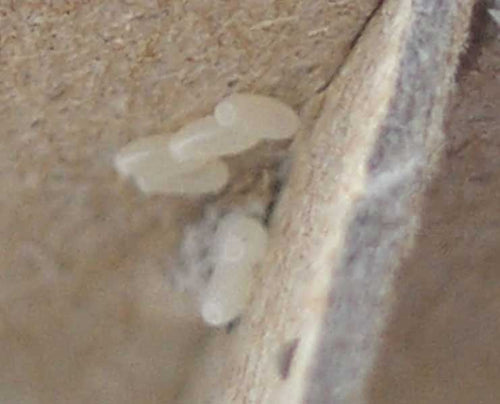 PICTURES OF BED BUG EGGS